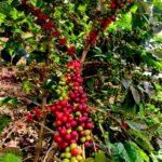 Colombia alcanzó cifras de exportación de café que no se veían desde hace 23 años
